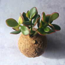 Load image into Gallery viewer, JADE PLANT - Crassula Ovata