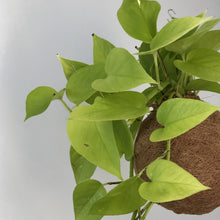 Load image into Gallery viewer, NEON POTHOS / DEVILS IVY - Epipremum aureum