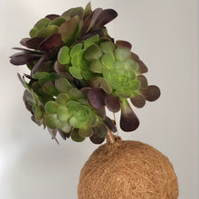 Load image into Gallery viewer, TREE HOUSELEEK -  Aeonium