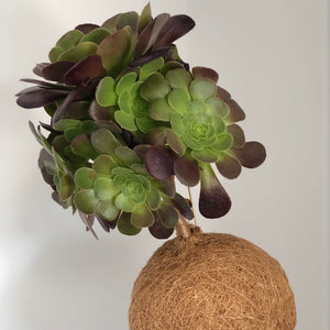 TREE HOUSELEEK -  Aeonium