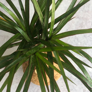 DRAGON TREE - Dracaena Marginata Variegated