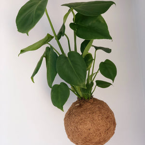 CHEESE PLANT - Monstera (Med)