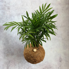 Load image into Gallery viewer, PALOUR PALM - Chamaedorea elegans