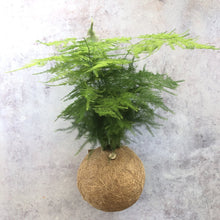 Load image into Gallery viewer, ASPARAGUS FERN - Asparagus Aethiopicus