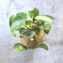 Load image into Gallery viewer, PILEA - Pilea Peperomioide