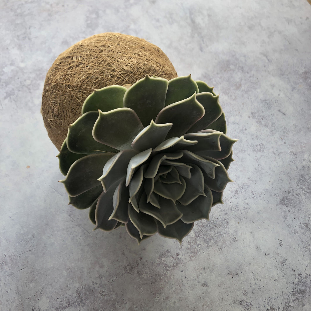 SUCCULENT - Echeveria Grey/Green/Pink - AVAILABLE SPRING/SUMMER ONLY