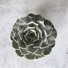 Load image into Gallery viewer, SUCCULENT - Echeveria Grey/Green/Pink - AVAILABLE SPRING/SUMMER ONLY