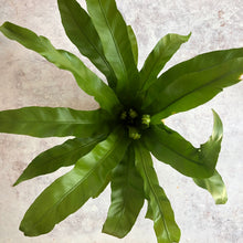 Load image into Gallery viewer, BIRDS NEST FERN - Asplenium - COMING SOON