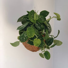 Load image into Gallery viewer, SATIN POTHOS - Scindapsus pictus
