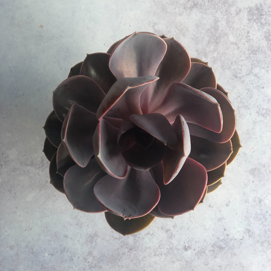 SUCCULENT - Echeveria Purple Heart - AVAILABLE SPRING/SUMMER ONLY