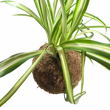 Load image into Gallery viewer, SPIDER PLANT - Chlorophytum