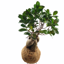 Load image into Gallery viewer, BONSAI - Ficus Ginseng