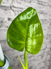 "Load image into Gallery viewer, Philodendron giganteum variegatum ""blizzard"" - 5"""