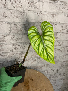 Philodendron plowmanii long form - 4""