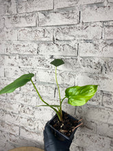 Load image into Gallery viewer, Philodendron pastazanum - 4""