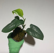 Load image into Gallery viewer, Philodendron bipennifolium - 4""