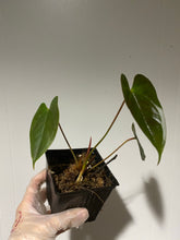 Load image into Gallery viewer, Anthurium chamberlanii - 4""