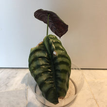 Load image into Gallery viewer, Alocasia cuprea XL - 8""