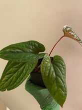 Load image into Gallery viewer, Anthurium radicans x luxurians - 5""