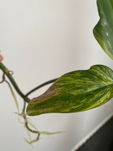 Philodendron Florida Beauty - 5""