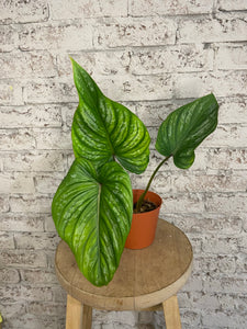 Philodendron plowmanii long form - 6""
