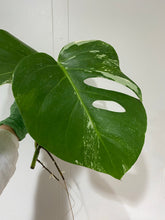 Load image into Gallery viewer, Monstera deliciousa albovariegata cutting #5