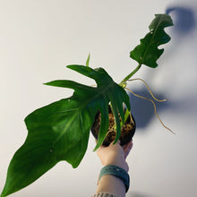 Load image into Gallery viewer, Philodendron elegans - 5""