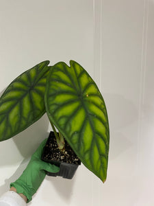 "Alocasia beginda green mature - 4"" Local Preferred"