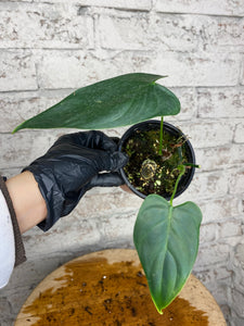Philodendron sharoniae - 4""