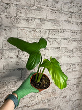 Load image into Gallery viewer, Philodendron barrosoanum - 4""