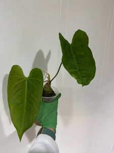 "Anthurium metallicum #2 - 5"" local only"