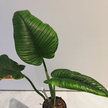 Load image into Gallery viewer, Philodendron rugapetiolatum