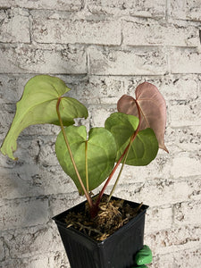 Anthurium crystallinum 'Red' - 4""