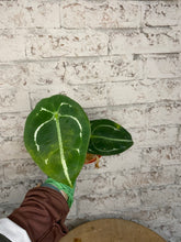 Load image into Gallery viewer, Anthurium forgetii silver form - 4""