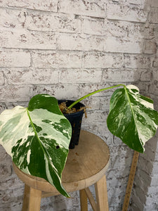 Monstera deliciousa albovariegata rooted cutting #2