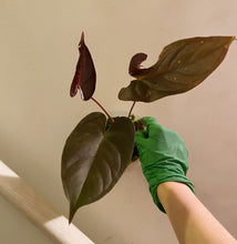Load image into Gallery viewer, Anthurium moodeanum - 4""