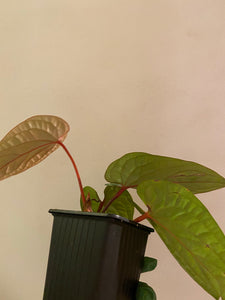Anthurium radicans x luxurians - 5""