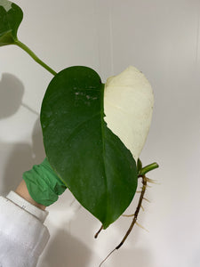 Monstera deliciousa albovariegata cutting #6