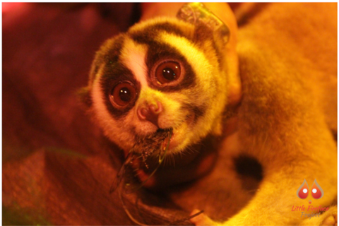 An image of Slow Loris I Did you know that Slow Loris is?