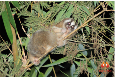 What you need to know about Slow Loris