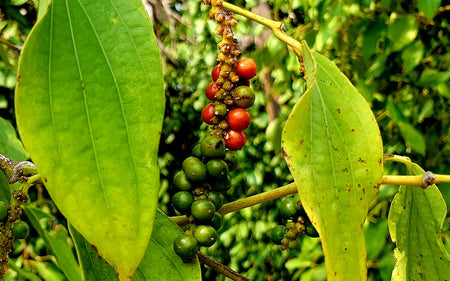 Cambodia's Prized Kampot Pepper, Nearly Wiped Out By Khmer Rouge, Makes A Comeback
