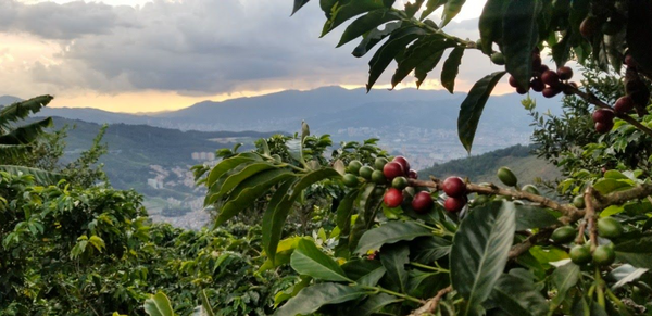 Medellin-Coffee-Cherry-Tree-Colombia