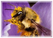 Load image into Gallery viewer, Bumble bee on crocus