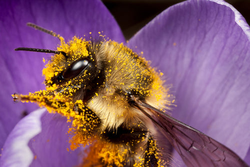 Bumble bee on crocus