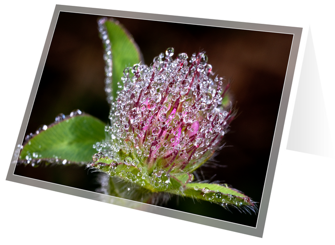 Red clover in morning dew