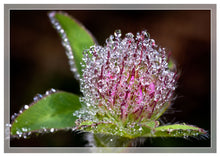 Load image into Gallery viewer, Red clover in morning dew