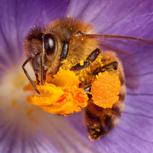Load image into Gallery viewer, Honey bee on crocus