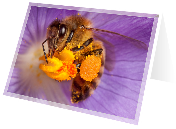 Honey bee on crocus