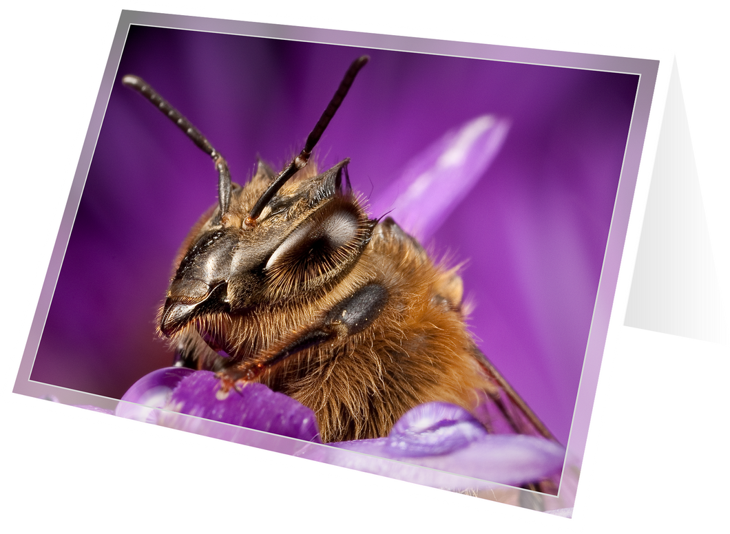 Honey bee on aster