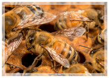 Load image into Gallery viewer, Honey bees on brood comb